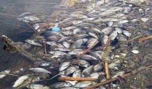 массовая-гибель-рыбы